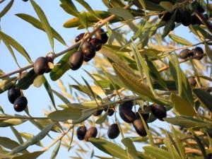 olive-al-Trasimeno